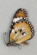 Danaus chrysippus cratippus M A1/A1- Indonesia