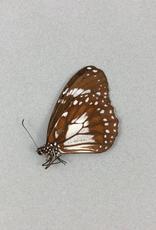 Danaus affinis leucippus MF A1/A1- Indonesia