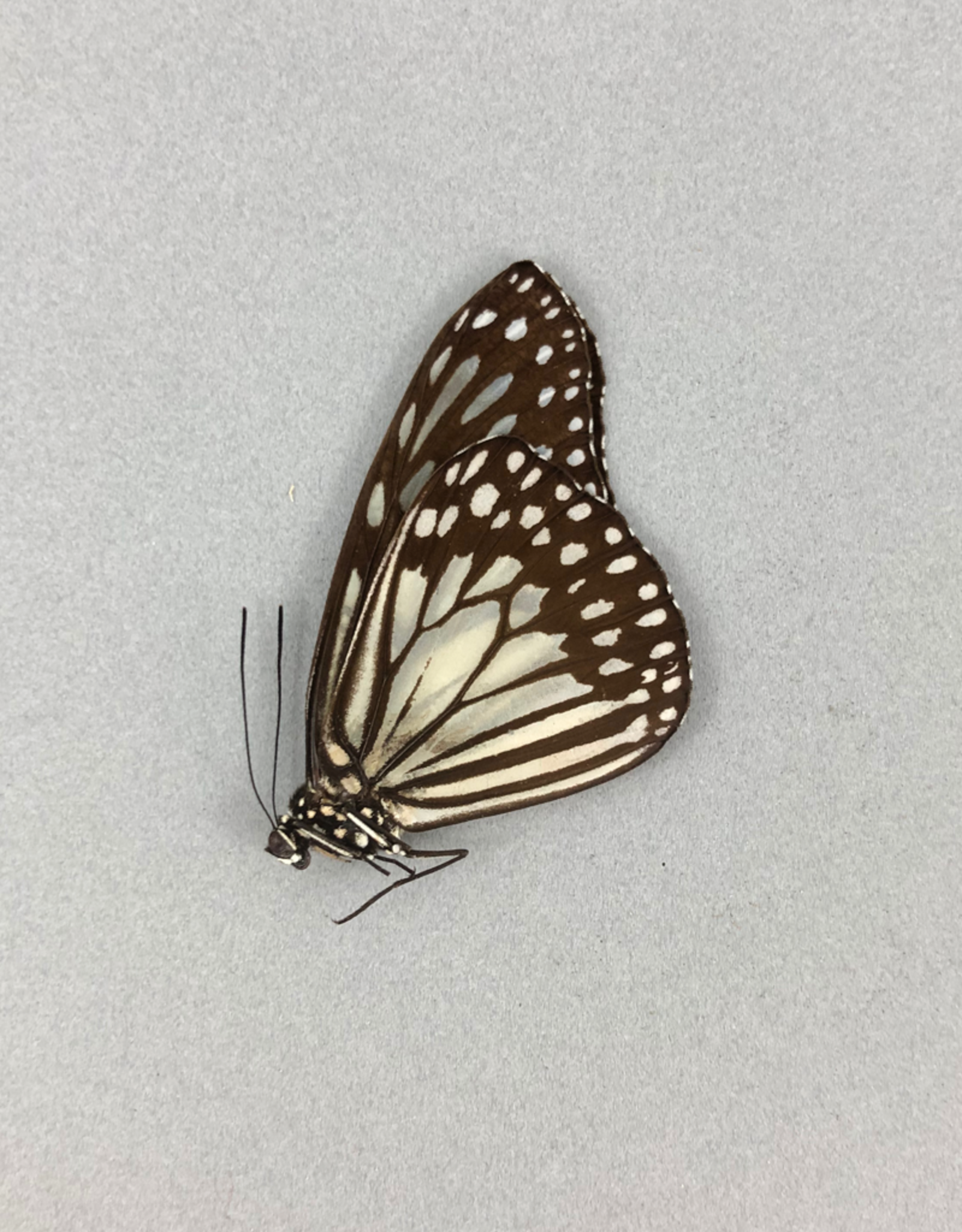 Ideopsis juventa curtisi M A1 Philippines