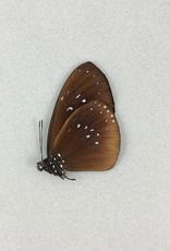 Euploea boisduvali ssp? M A1 PNG