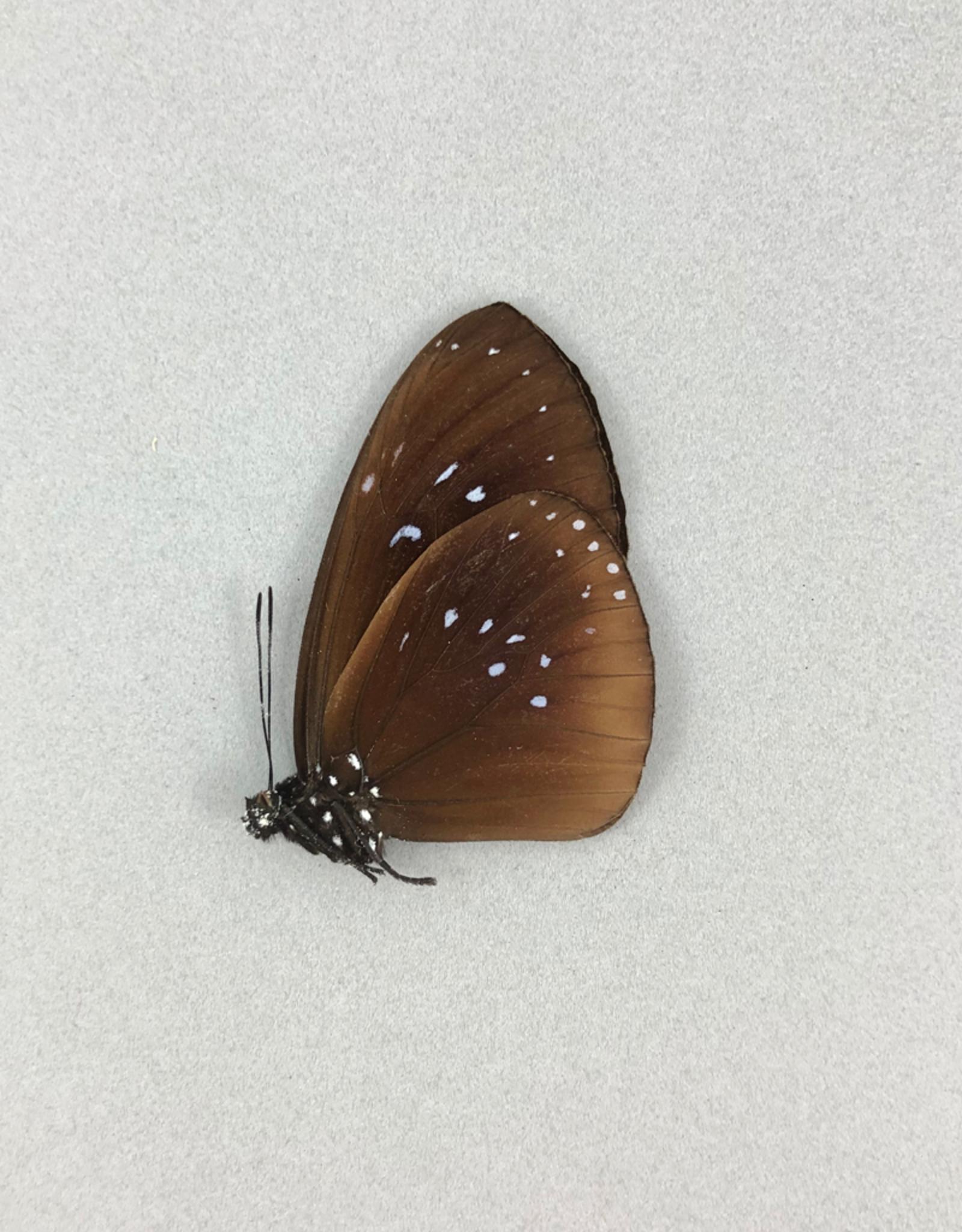 Euploea boisduvali ssp? M A1- PNG