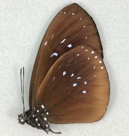 Euploea boisduvali ssp? M A1/A1- PNG