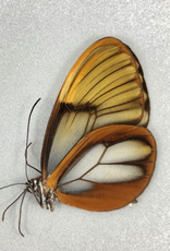 Godyris duillia M A1 Peru