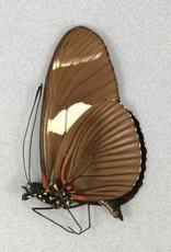Heliconius wallacei f. flavescens M A1 Peru