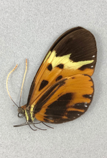 Hypothyris semifulva pallisteri M A1 Peru