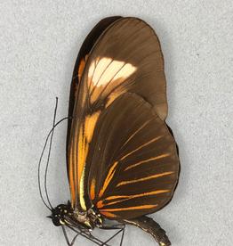 Heliconius melpomene HYBRID M A1 Peru