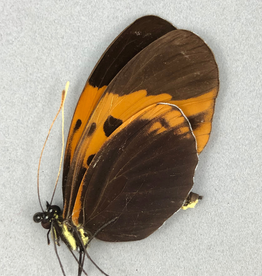 Heliconius numata aristonia f. bicoloratus M A1 Peru