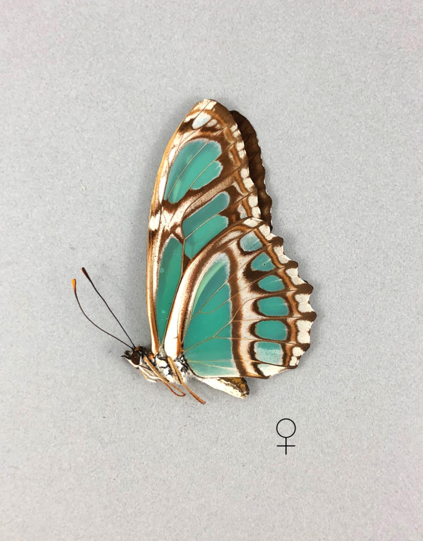 Philaethria (Metamorpha) wernickei F A1 Bolivia
