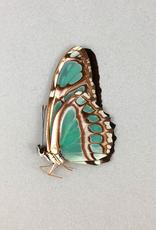 Philaethria (Metamorpha) wernickei M A1 Bolivia