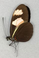 Heliconius melpomene xenoclea M A1 Peru