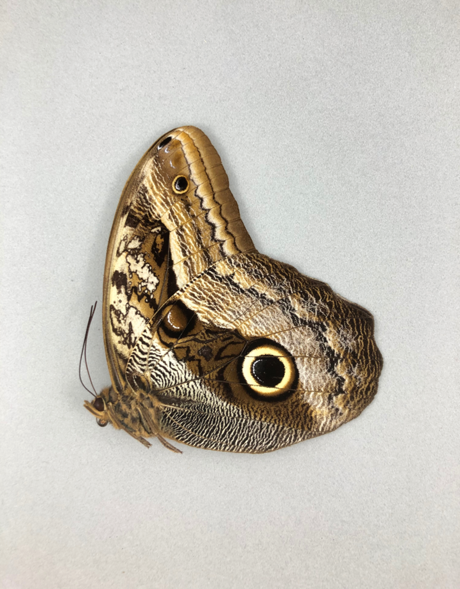 Caligo placidianus M A1 Peru