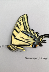 Papilio multicaudata grandiosus M A1 Mexico