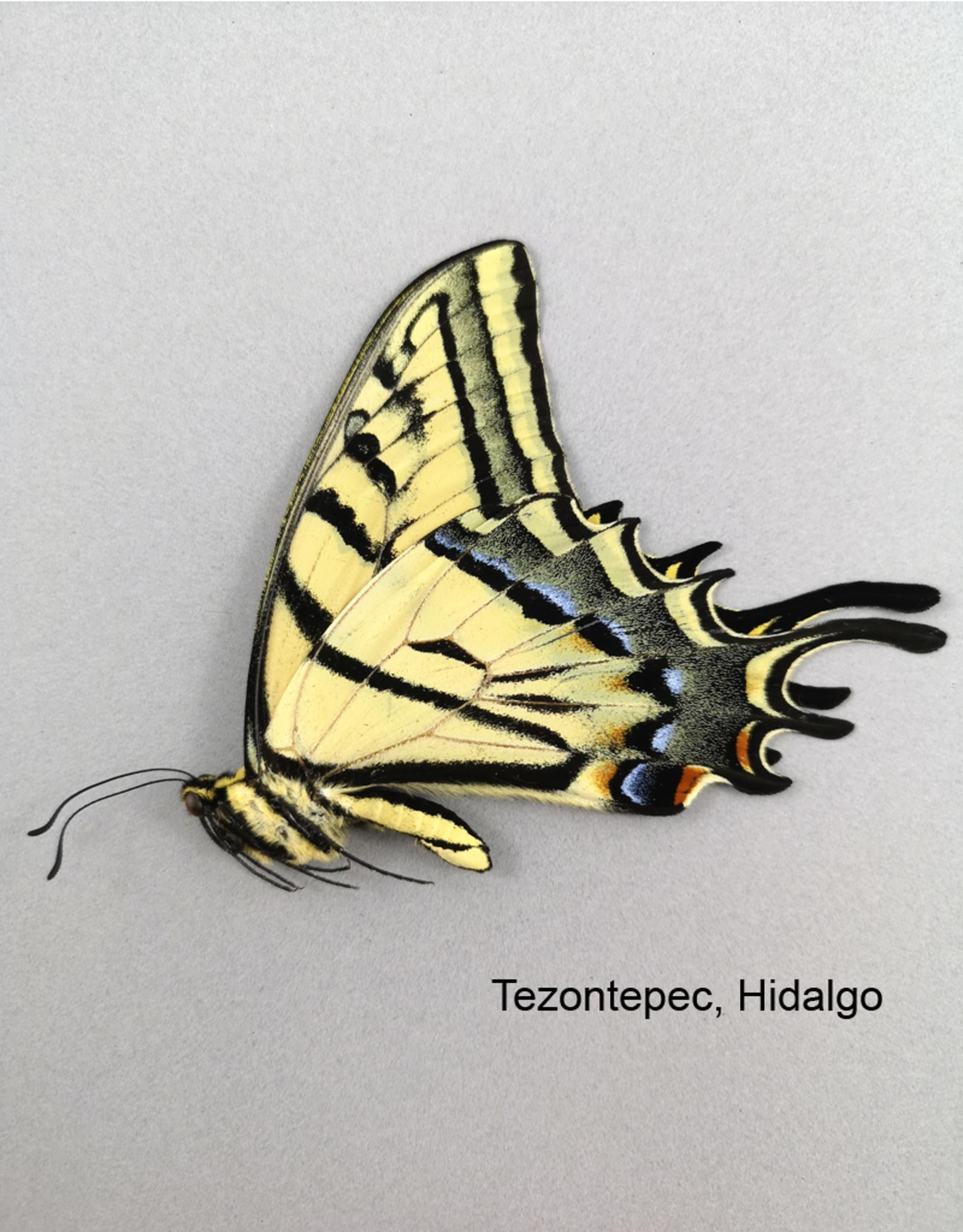 Papilio multicaudata grandiosus M A1/A1- Mexico