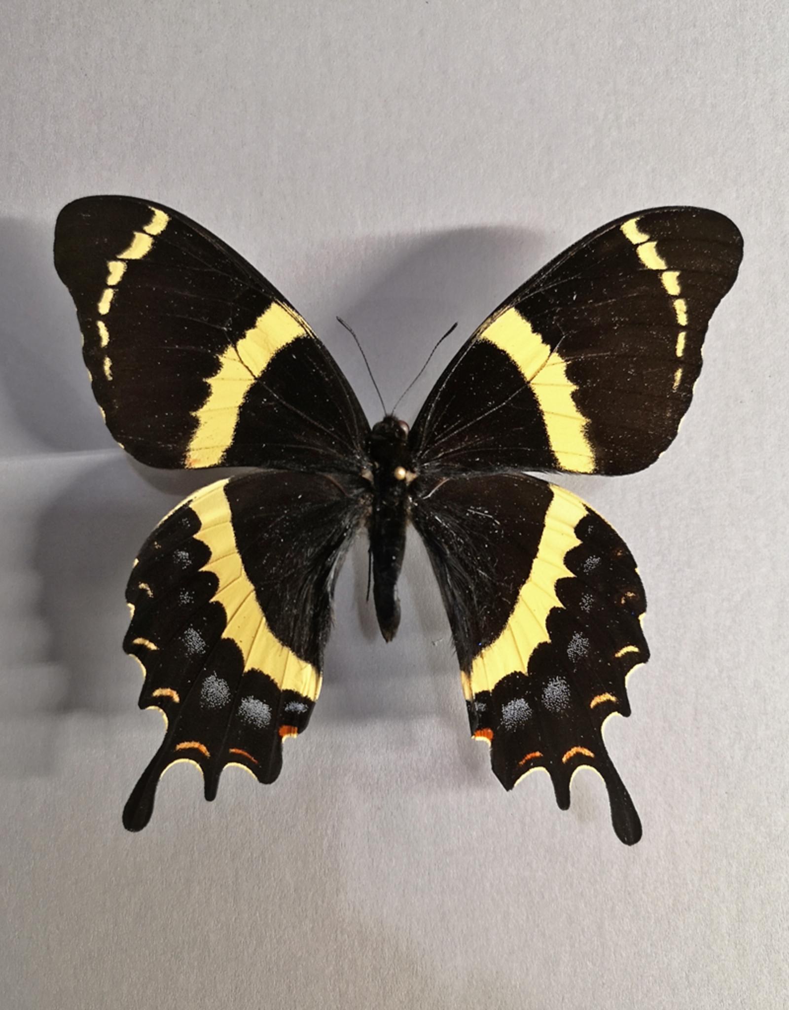 Papilio garamas garamas (baroni) M A1/A1- Mexico