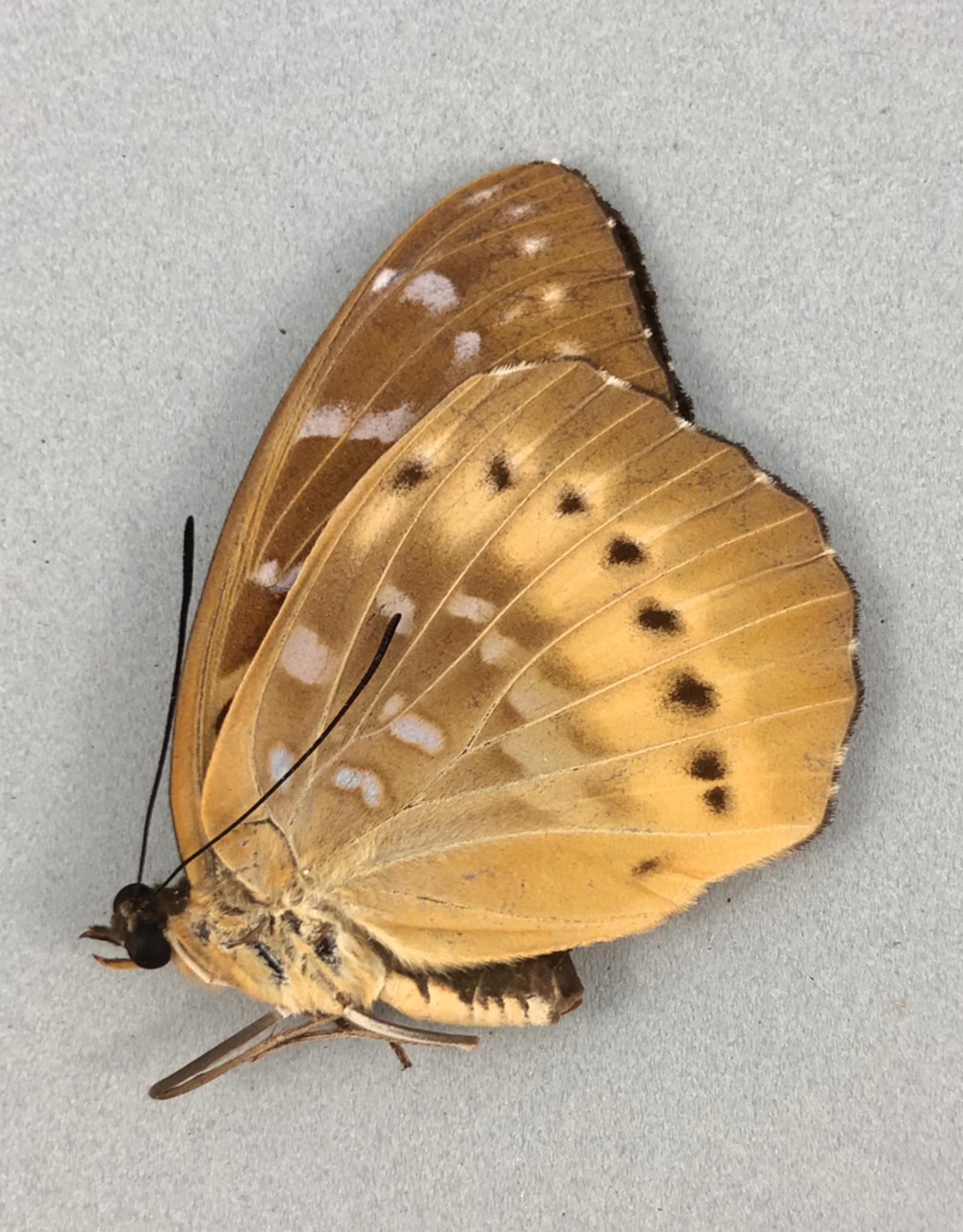 Lexias panopus boholensis F A1 Philippines