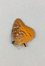 Lexias panopus boholensis M A1 Philippines