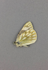Pontia occidentalis occidentalis F A1 Canada