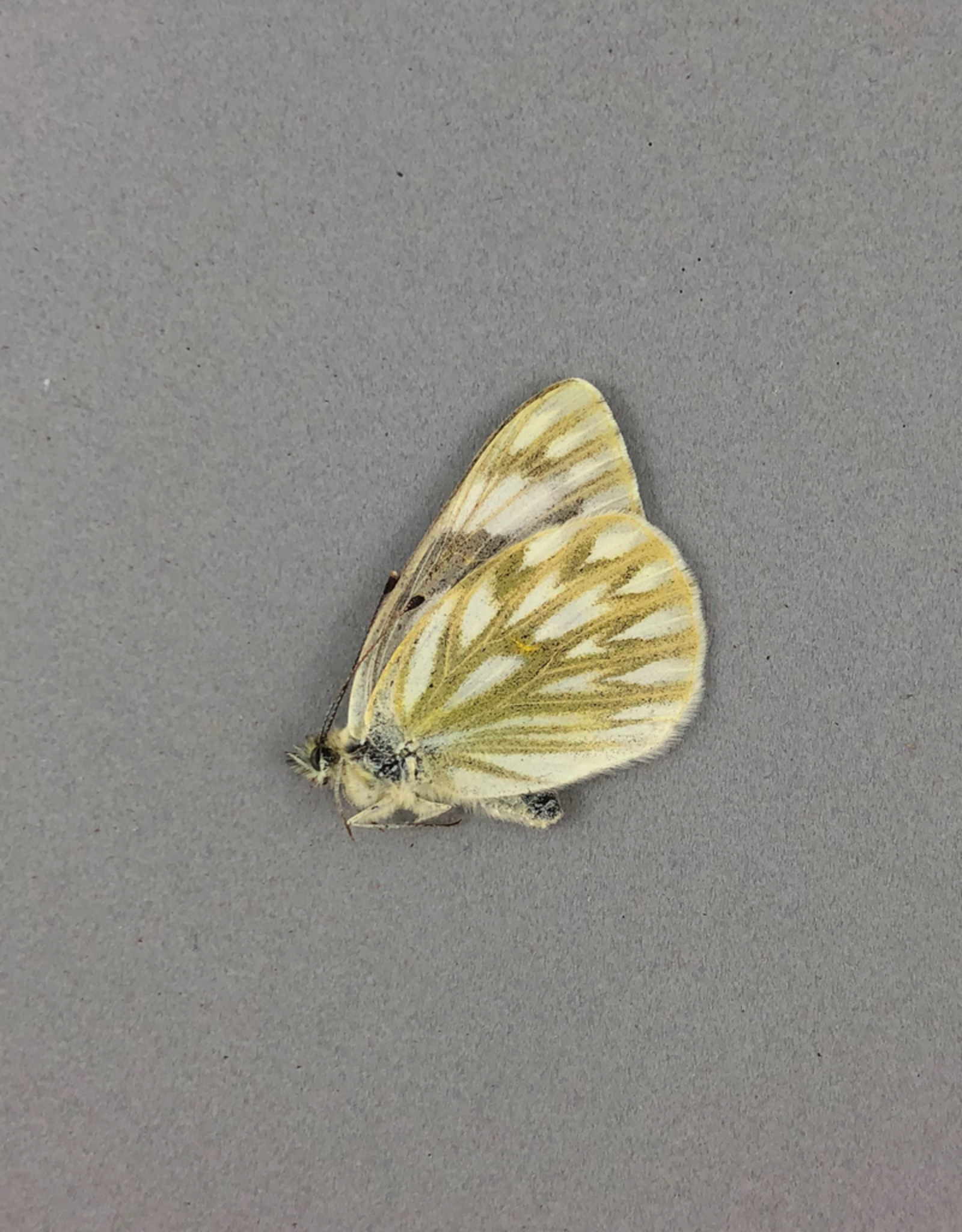 Pontia occidentalis occidentalis F A1- Canada