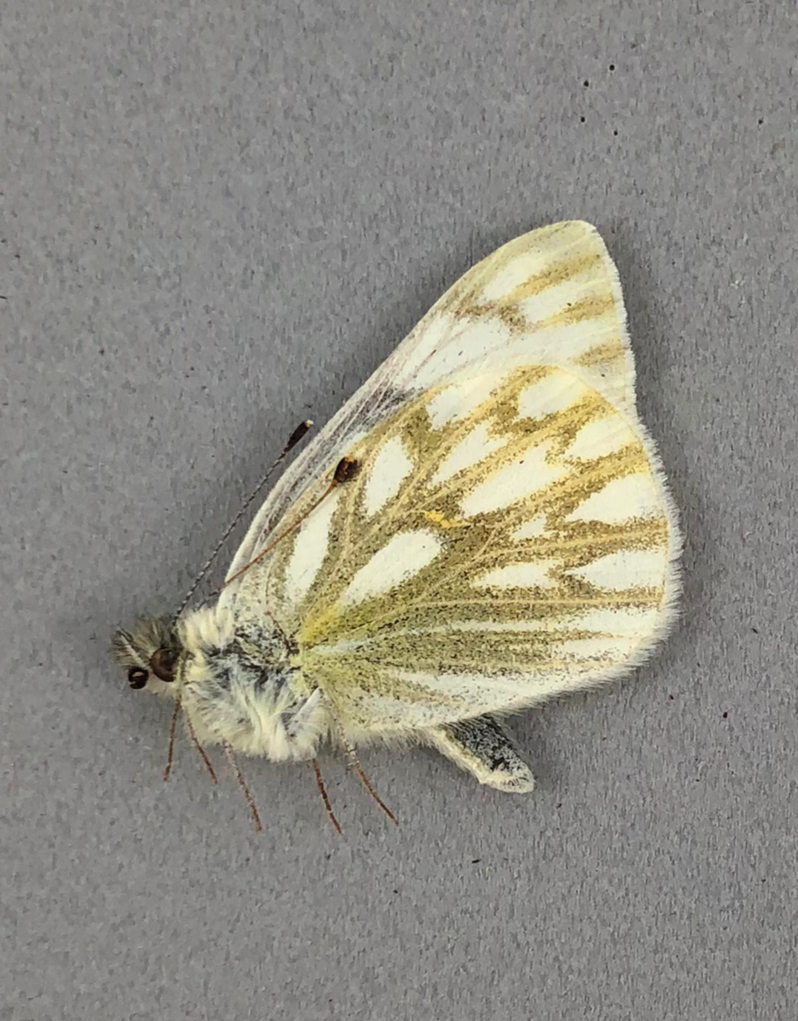 Pontia occidentalis occidentalis M A1- Canada