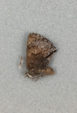 Callophrys eryphon eryphon F A1 Canada