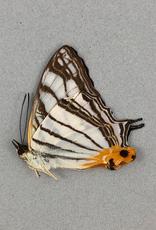 Cyrestis maenalis negros M A1 Philippines