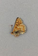 Euphydryas aurinia bulgarica A1/A1- Turkey