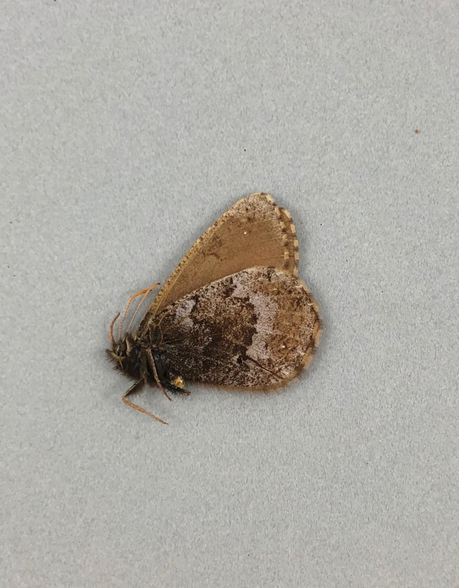 Oeneis polyxenes luteus M A1- Canada