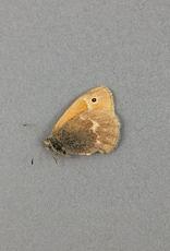 Coenonympha inornata benjamini M A1 Alberta, Canada