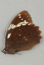 Penthema adelma M A1 Yunnan, China