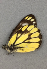 Delias ganyimedes halconensis M A1 Mindoro Island, Philippines