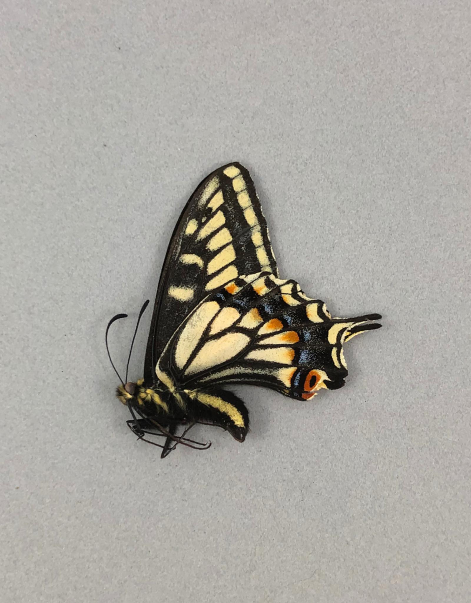 Papilio zelicaon M A1 Alberta, Canada