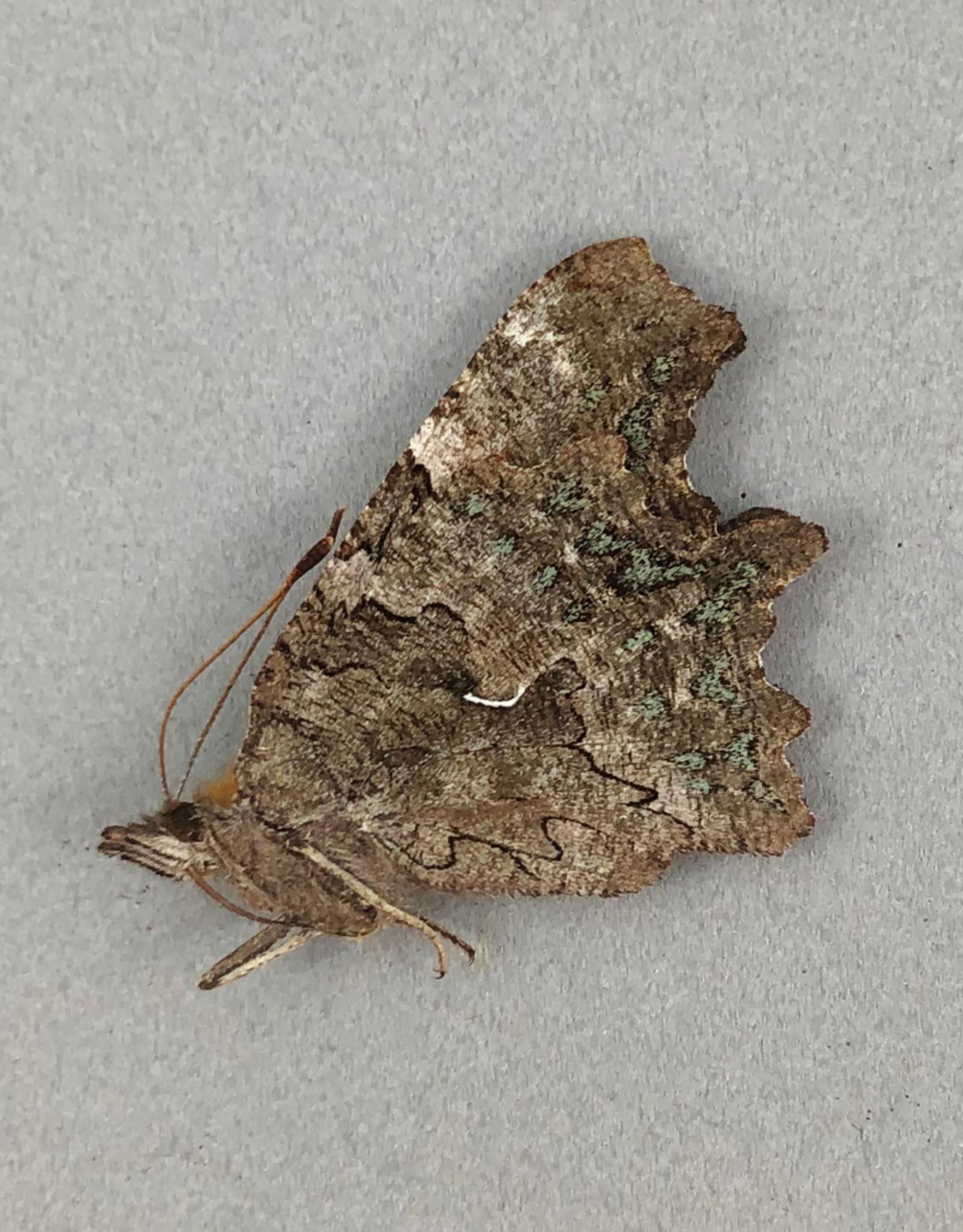 Polygonia faunus hylas M A1- British Columbia, Canada