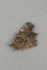 Polygonia faunus hylas M A1 British Columbia, Canada