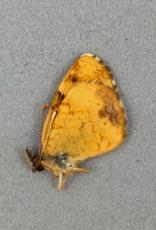 Phyciodes cocyta selenis M A1 Alberta, Canada