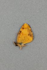 Phyciodes cocyta selenis M A1- Alberta, Canada
