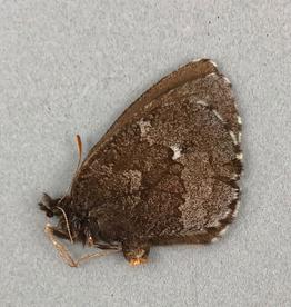 Erebia mancinus F A1- Yukon Territory, Canada