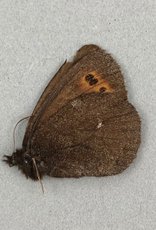 Erebia mancinus M A2 Yukon Territory, Canada
