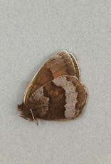 Erebia fasciata fasciata F A1- Yukon Territory, Canada