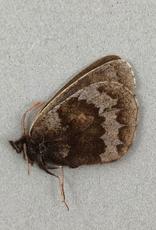 Erebia fasciata fasciata M A1- Yukon Territory, Canada