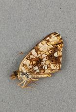 Phyciodes mylitta F A1- Canada