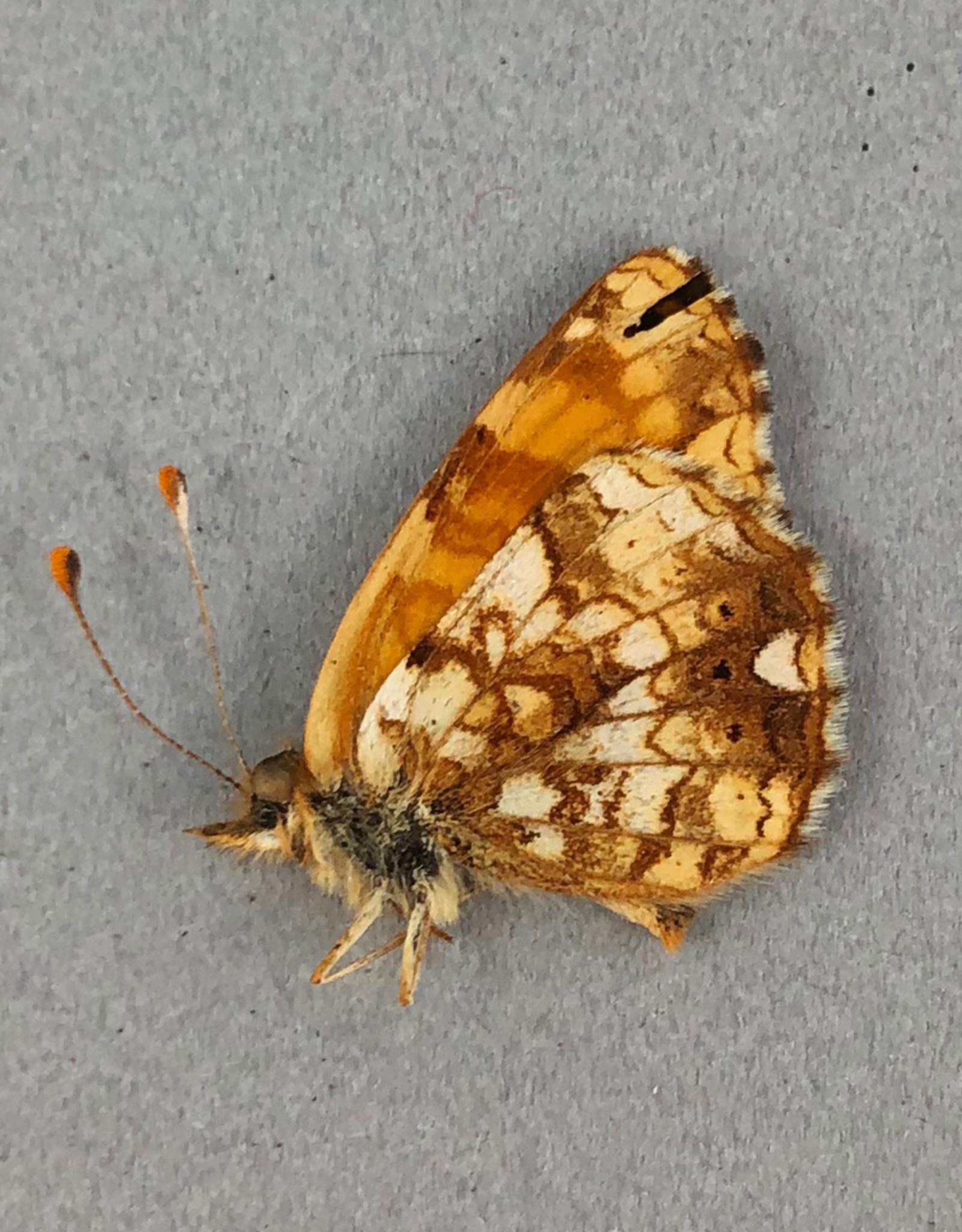 Phyciodes mylitta M A1 Canada