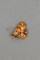 Phyciodes mylitta M A1- Canada