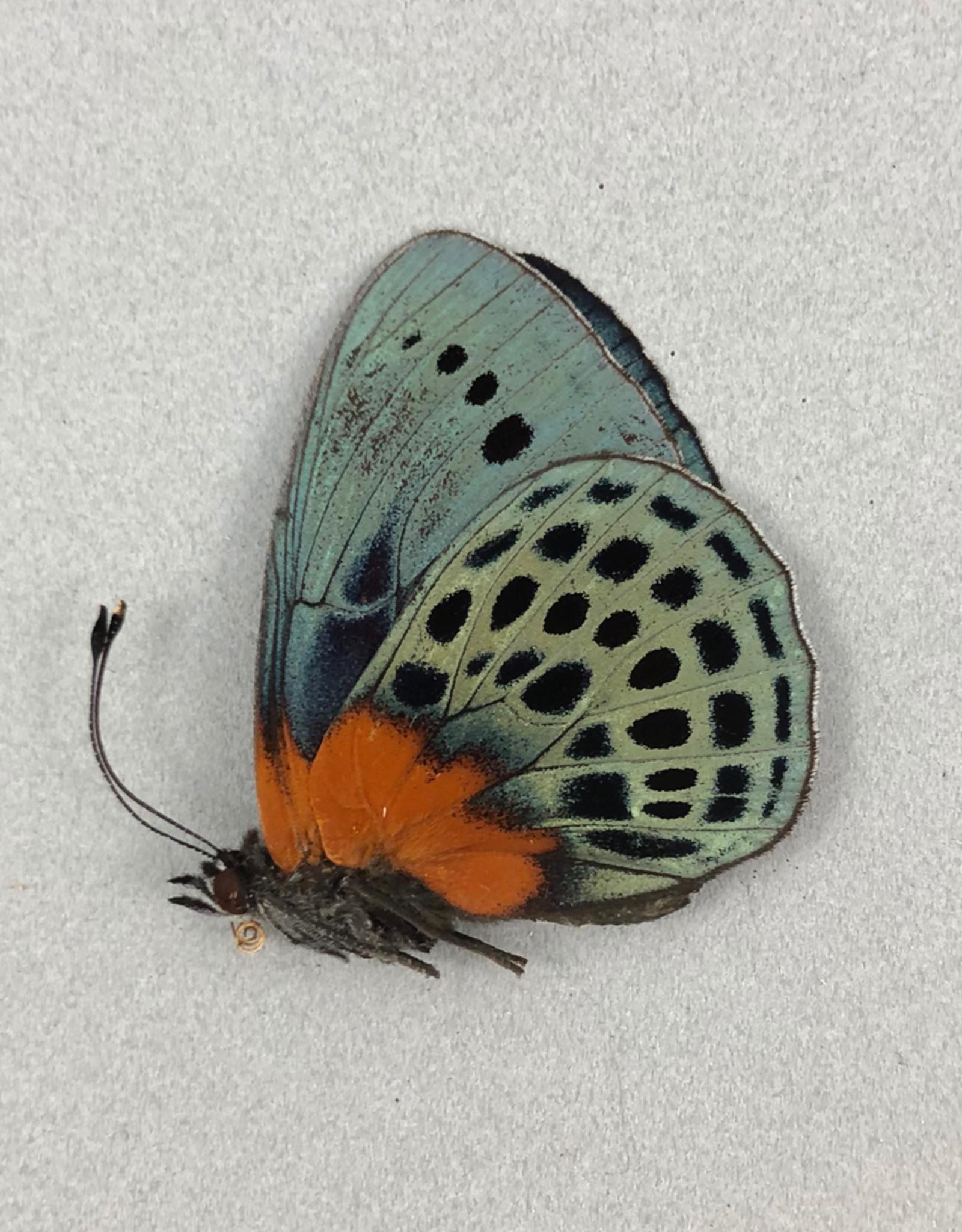 Asterope (Callithea) adamsi M A1 Satipo, Peru