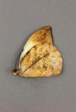 Hebomoia glaucippe boholensis M A1 Negros Island, Philippines