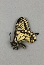 Papilio aliaska (machaon aliaska) M A1/A1- Yukon Territory, Canada