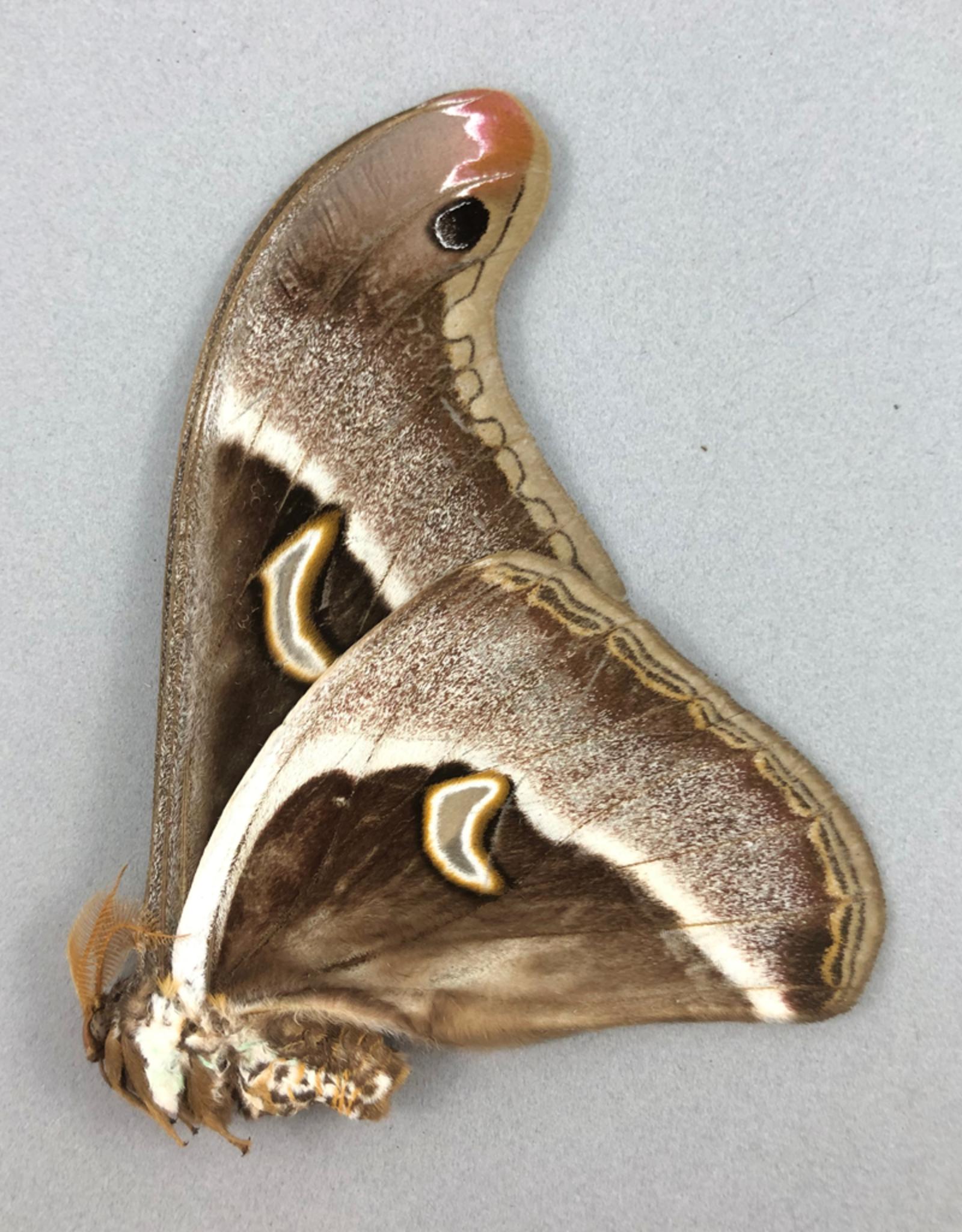 Epiphora rectifasciata M A1/A1- Cameroon