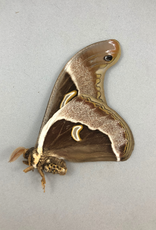 Epiphora ploetzi M A1/A1- Obout, Cameroon
