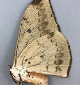 Pseudobunaea epithyrena F A1- Obout, Cameroon