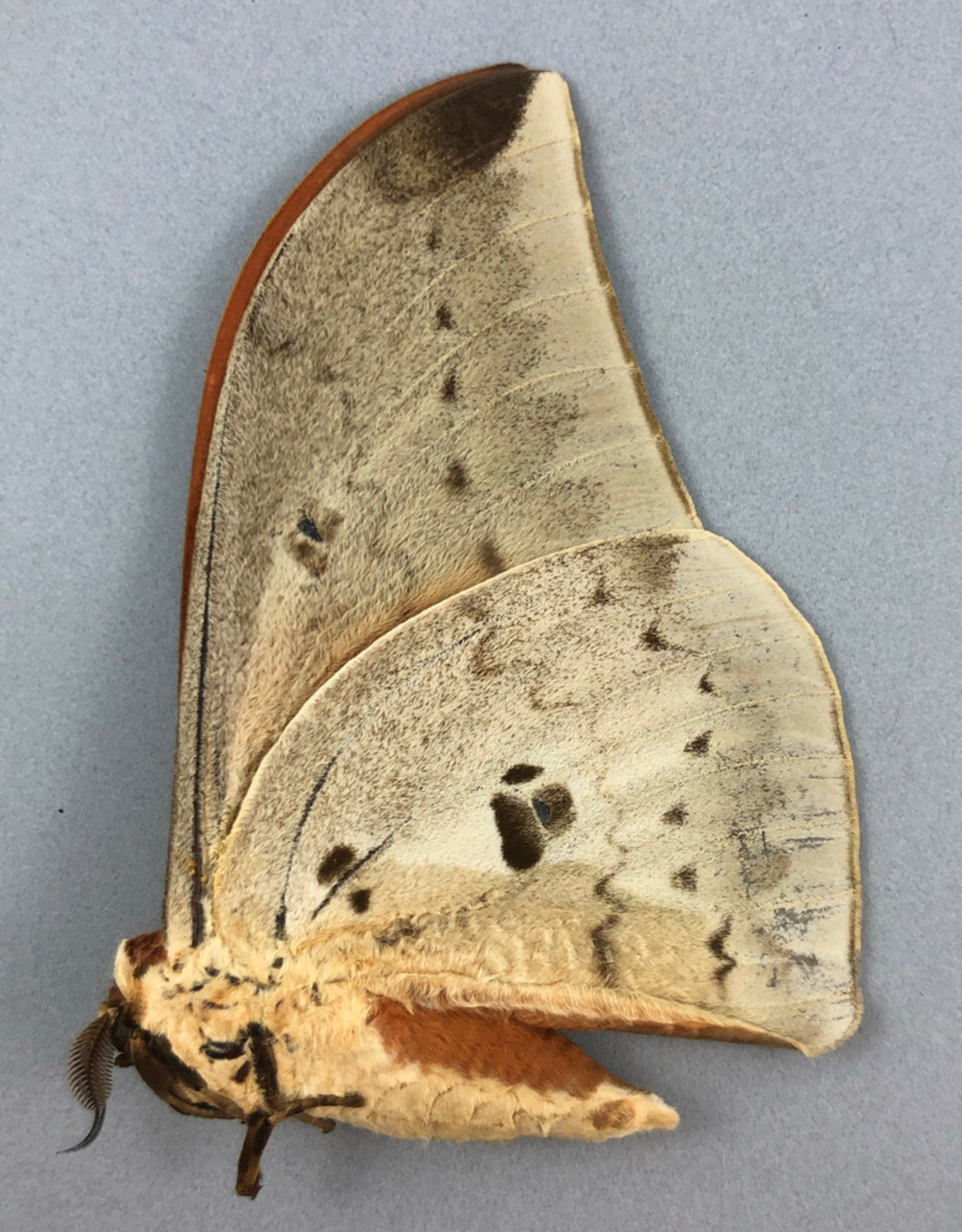 Pseudobunaea epithyrena M A1 Obout, Cameroon