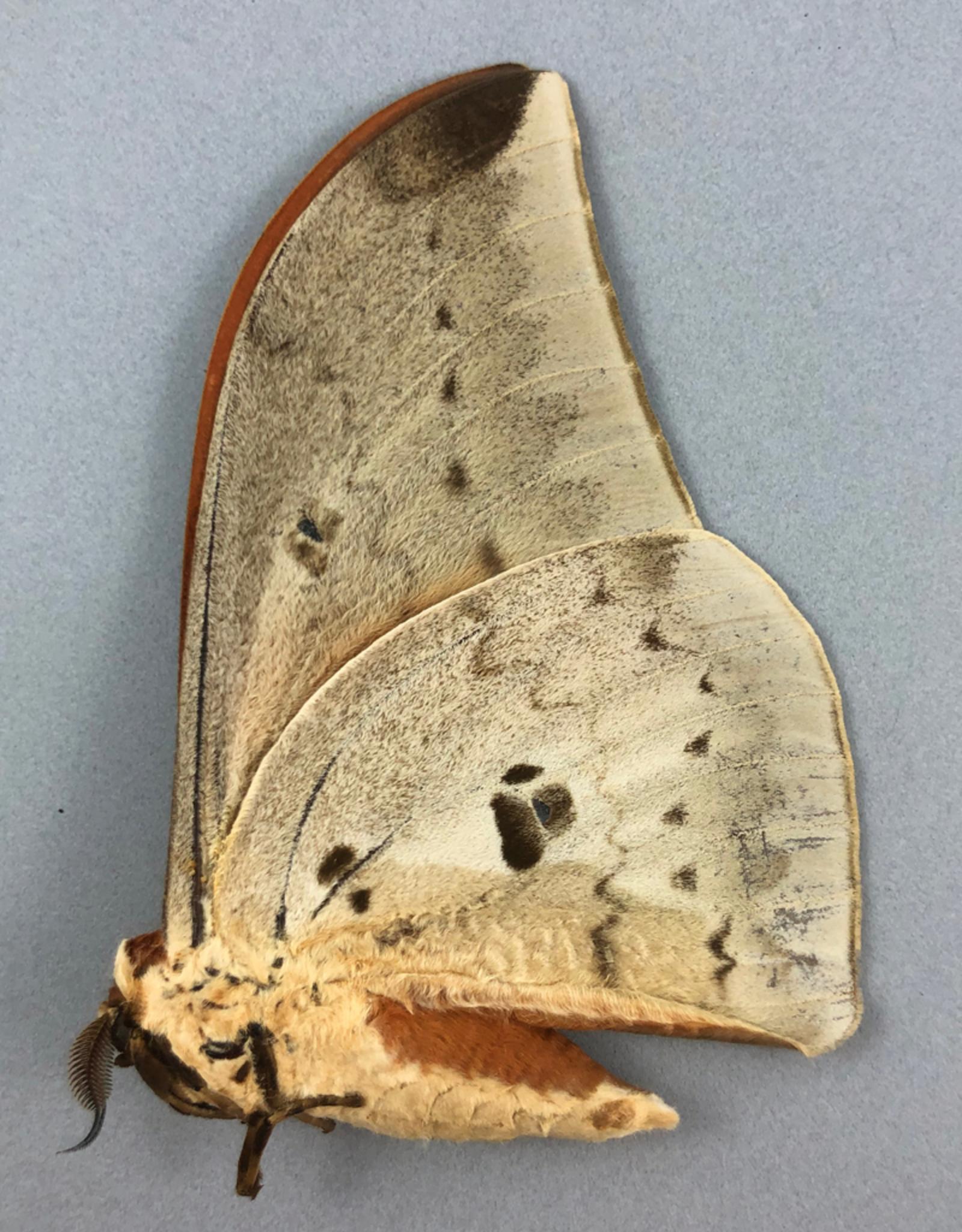 Pseudobunaea epithyrena M A1/A1- Obout, Cameroon